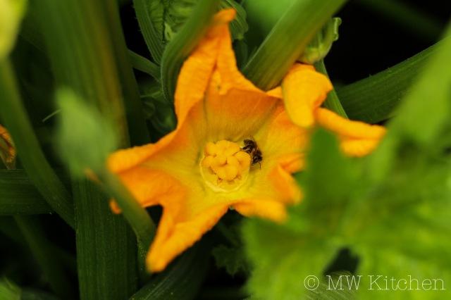 Zucchini Flowers-MW-Kitchen-2