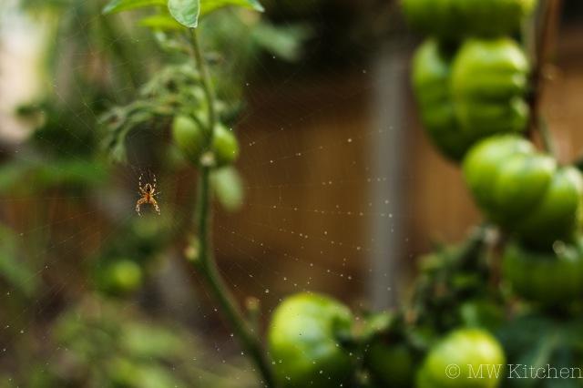 Garden Tomatoes-19